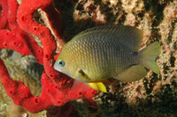 Stegastes planifrons, Threespot damselfish: aquarium