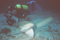Stegostoma fasciatum, Zebra shark: fisheries, gamefish
