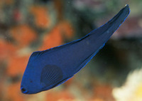 Assessor macneilli, Blue devilfish: aquarium