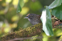 Chevron-breasted Babbler - Sphenocichla roberti