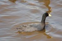 White-winged Coot - Fulica leucoptera