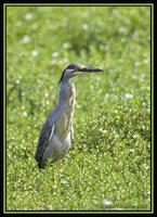 Striated Heron 2