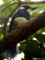 Black-breasted Puffbird (Notharchus pectoralis)