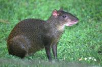 Central American Agouti. Photo by Barry Ulman. All rights reserved.