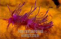 Sea slug , Flabellina affinis , Mediterranean Sea stock photo