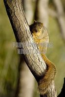 Squirrel in a tree ( American Red Tamiasciurus hudsonicus ) stock photo