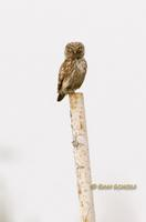 Little owl (eastern race) C20D 03388.jpg