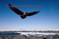 FT0166-00: Attack from a South Polar Skua, Catharacta mccormicki, in flight. Antarctica