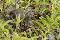 Purple Swamphen (immature)