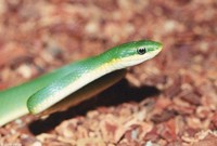 : Opheodrys aestivus; Rough Green Snake