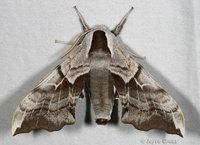 : Smerinthus cerisyi; One-eyed Sphinx