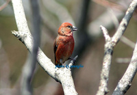 솔잣새 Commom Crossbill(Red Crosb...
