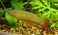 Aplocheilus lineatus, Striped panchax: aquarium
