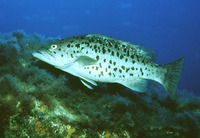 Mycteroperca fusca, Island grouper: fisheries