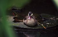 Anas erythrorhyncha - Red-billed Pintail