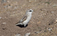 Image of: Onychostruthus taczanowskii (white-rumped snowfinch)