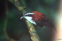 Chestnut-backed Scimitar Babbler - Pomatorhinus montanus