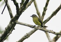 Brown-capped Tyrannulet - Ornithion brunneicapillus