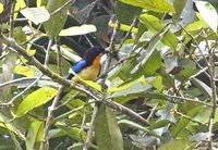 Orange-throated Tanager - Wetmorethraupis sterrhopteron