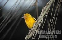 Orange weaver ( Ploceus aurantius ) , Ssese Islands , Uganda stock photo
