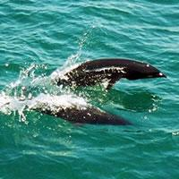 Northern Rightwhale Dolphin