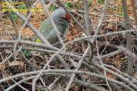 Picus canus , 청딱다구리 - Grey-faced Green Woodpecker