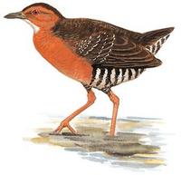 Band-bellied Crake  Porzana paykullii