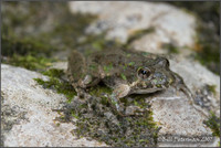 : Acris crepitans blanchardi; Northern Cricket Frog