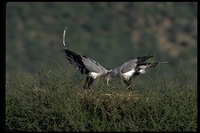 : Sagittarius serpentarius; Secretary Bird (nest)