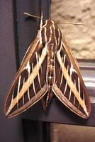 : Hyles lineata; White-lined Sphinx