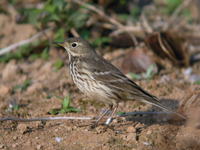 밭종다리 Anthus spinoletta | water pipit