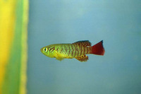 Nothobranchius guentheri, Redtail notho: aquarium
