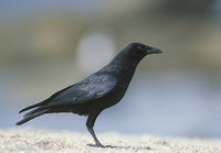 American Crow (Corvus brachyrhynchos) photo