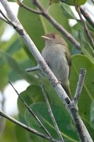 Brown-headed Greenlet - Hylophilus brunneiceps