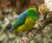 Blue-naped Chlorophonia (??Nick Athanas)