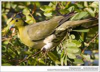 White-Bellied Green Pigeon 紅翅綠鳩 IMG 3038.jpg