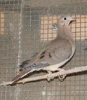 Blue eared dove Zenaida auriculata