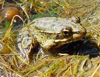 : Rana aurora; Red-legged Frog