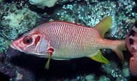 : Sargocentron spiniferum; Sabre Squirrelfish