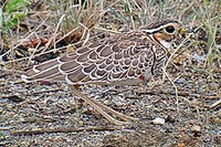 The cryptically plumaged Heuglin's Courser is always a firm favourite (Nik Borrow)