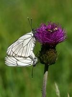 Aporia crataegi - Black-veined White