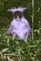 photograph of red colobus monkey