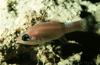 Apogon phenax, Mimic cardinalfish: