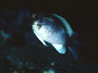 Chromis cinerascens, :
