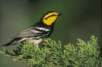 Image of: Dendroica chrysoparia (golden-cheeked warbler)