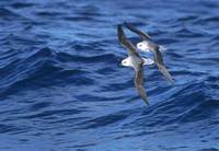 White-headed Petrel (Pterodroma lessonii) photo