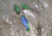 Dusky-billed Parrotlet - Forpus sclateri