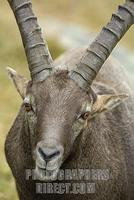 Alpine ibex ( Capra ibex ) stock photo