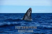 ...Right Southern Whale in Peninsula Valdes ( Eubalaena Australis ) , Province of Chubut , Patagoni