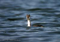 뿔논병아리 Great Crested Grebe Podiceps cristatus